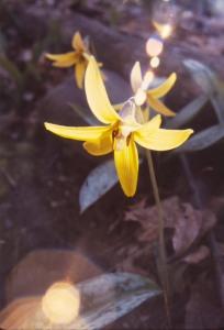 Joyce's Flower in the Clark woods