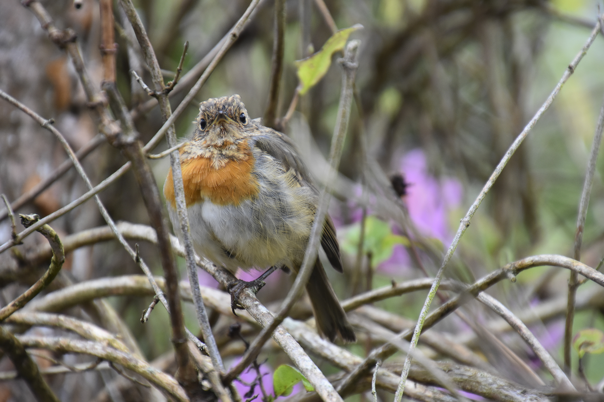 IrishRobin